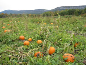 Pumpkin Patch at Jenkins-Leukins Farm